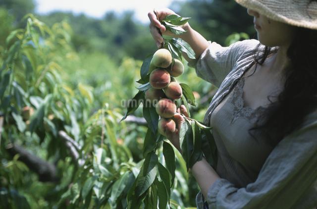 モモを収穫する女性の写真素材 [FYI03231301]