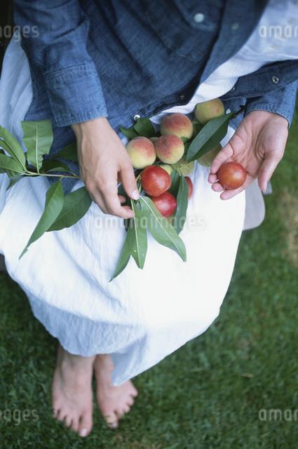 モモを収穫する女性の写真素材 [FYI03231302]