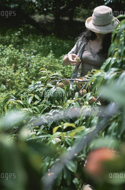 モモを収穫する女性の写真素材 [FYI03231314]