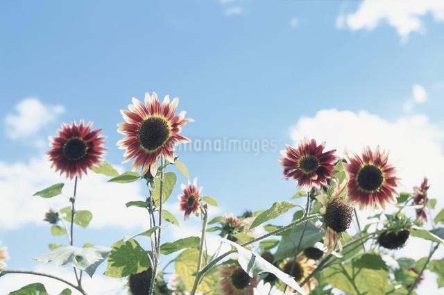 花畑と青空の写真素材 [FYI03231336]
