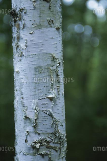 木の写真素材 [FYI03231348]