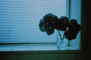 窓辺に生けたアジサイの花の写真素材 [FYI03232152]