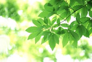 新緑の葉の写真素材 [FYI03233501]