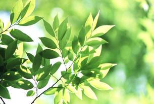 新緑の葉の写真素材 [FYI03233502]