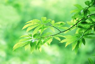 新緑の葉の写真素材 [FYI03233505]