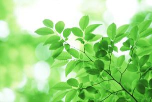 新緑の葉の写真素材 [FYI03233510]