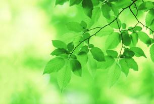 新緑の葉の写真素材 [FYI03233511]