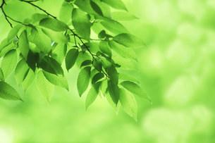 新緑の葉の写真素材 [FYI03233512]