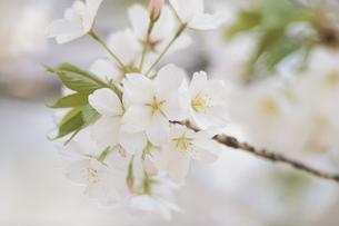 桜の写真素材 [FYI03233605]