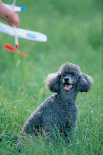 公園のプードルと模型飛行機の写真素材 [FYI03233773]