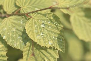 木の枝と水滴の写真素材 [FYI03233811]