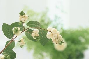 白い実のついている植物の写真素材 [FYI03233833]