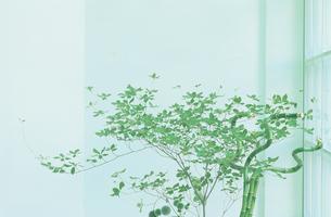 観葉植物洞山ツツジの写真素材 [FYI03233852]