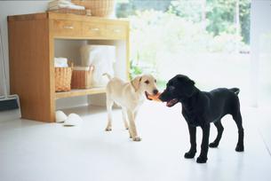 室内でじゃれ合う黒と白の子犬の写真素材 [FYI03234145]