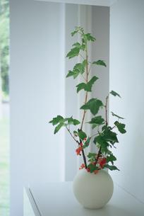 白い花瓶に生けたスグリの実の枝の写真素材 [FYI03234227]