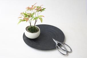 盆栽と剪定バサミの写真素材 [FYI03234239]