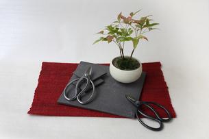 盆栽と剪定バサミの写真素材 [FYI03234243]