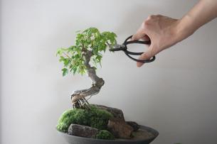 盆栽を剪定の写真素材 [FYI03234255]