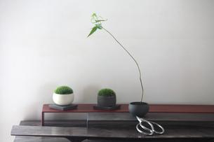 盆栽とコケと剪定バサミの写真素材 [FYI03234261]