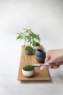 盆栽を剪定の写真素材 [FYI03234267]