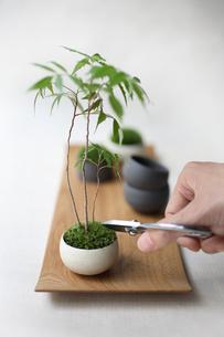 盆栽を剪定の写真素材 [FYI03234271]
