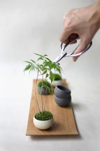盆栽を剪定の写真素材 [FYI03234272]