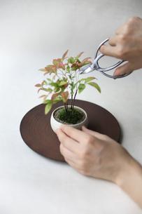 盆栽を剪定の写真素材 [FYI03234274]