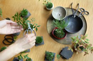 テーブルで盆栽の手入れの写真素材 [FYI03234282]