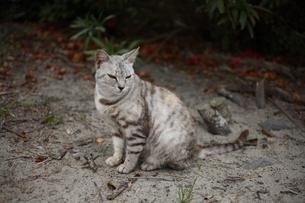 ネコの写真素材 [FYI03234337]