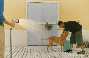 水遊びをする犬(ラブラドールレトリーバー)の写真素材 [FYI03235072]