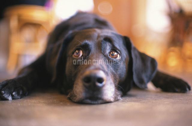 床に伏せた黒い犬の写真素材 [FYI03235084]