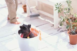 バケツの中の黒い犬の写真素材 [FYI03235660]