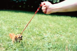 草むらで赤いリードを噛む犬の写真素材 [FYI03235680]