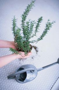 ハーブの苗を持つ女性の写真素材 [FYI03235801]