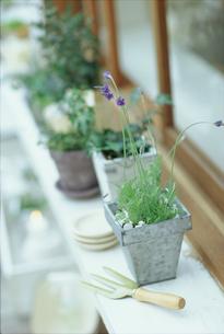 窓辺に並ぶ鉢植えとシャベルの写真素材 [FYI03235940]