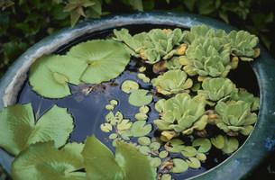 陶器の中の浮き草の写真素材 [FYI03236181]