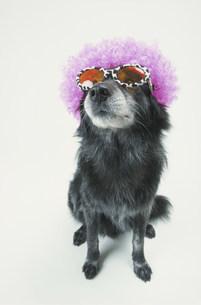 眼鏡とカツラをつけた犬(雑種)の写真素材 [FYI03236320]