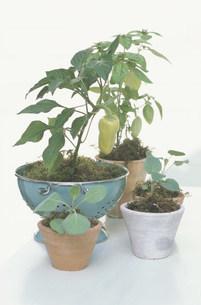 植物の苗の写真素材 [FYI03236581]