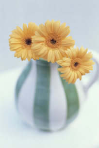 花瓶に生けたオレンジマーガレット3本の写真素材 [FYI03236653]