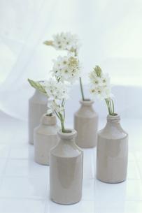 5個の陶器の瓶にオニソガラムの写真素材 [FYI03236664]