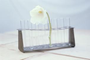 試験管に生けた白チューリップの写真素材 [FYI03236669]