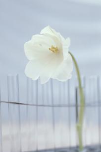 並んだ試験管のひとつに生けた白チューリップの写真素材 [FYI03236718]