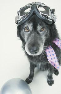 ゴーグルとスカーフをつけた黒い犬の写真素材 [FYI03237282]