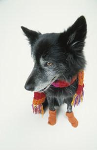 マフラーを巻いてソックスを履いた黒い犬の写真素材 [FYI03237290]