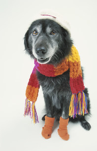 マフラーを巻いてソックスを履いた黒い犬の写真素材 [FYI03237293]