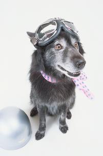 頭にゴーグルと首にスカーフを巻いた犬の写真素材 [FYI03237300]