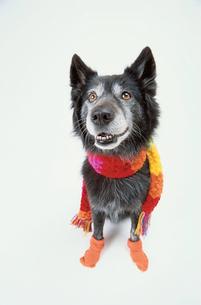 マフラーを巻いてソックスを履いた黒い犬の写真素材 [FYI03237303]