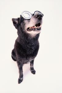 眼鏡をかけて上を向く黒い犬の写真素材 [FYI03237304]