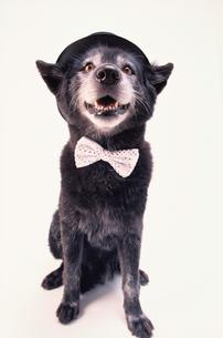 蝶ネクタイと黒い帽子を被った黒い犬の写真素材 [FYI03237324]