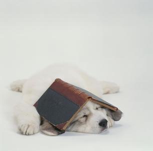 本を頭に置くグレートピレニーズの写真素材 [FYI03237396]